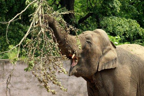 elephant  proboscis  mammal
