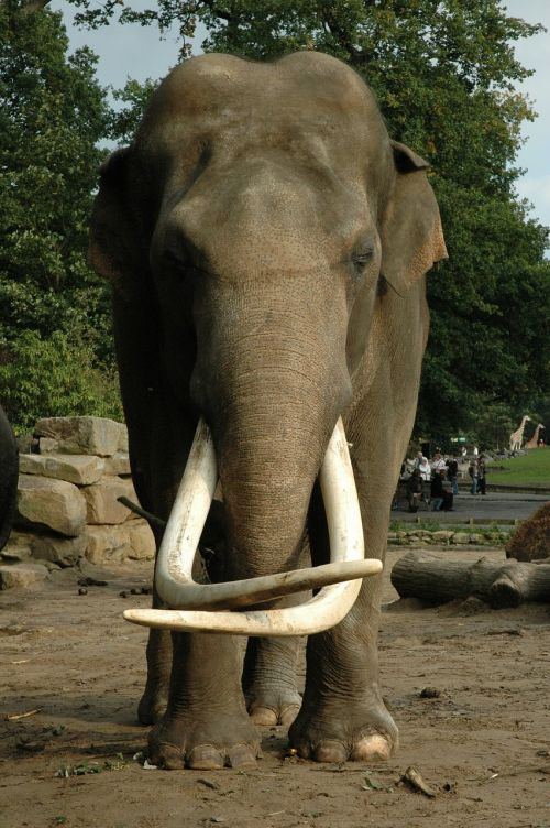 elephant tusk animal