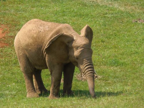 elephant pachyderm animals