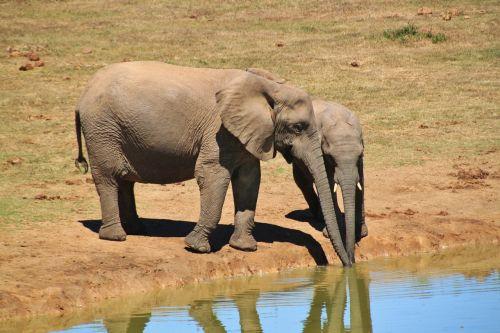 elephant african bush elephant animals