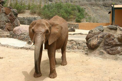 elephant animal pachyderm