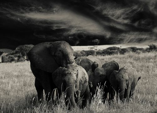 elephant animals flock
