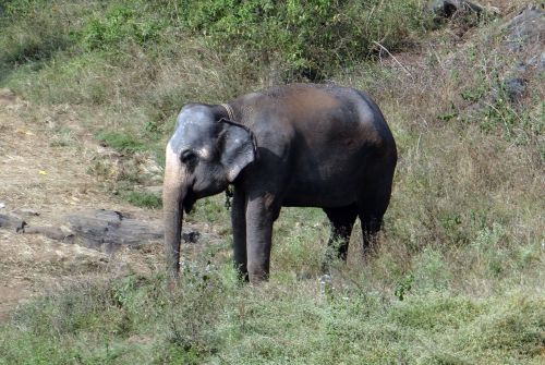 elephant tamed indian