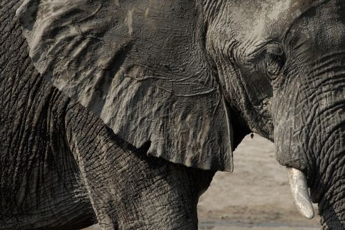 elephant chobe botswana