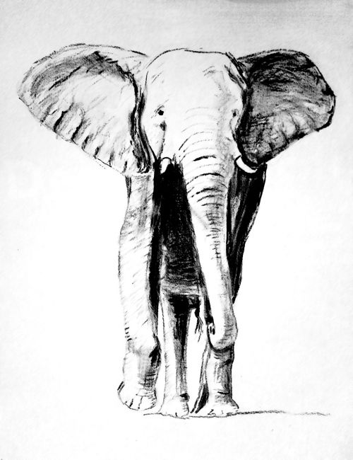 elephant drawing carbon