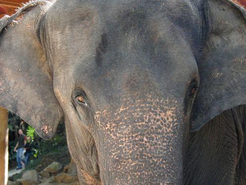 elephant animal asia