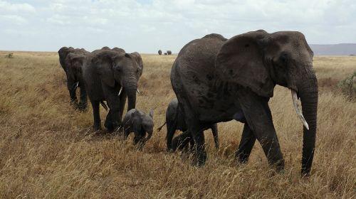 elephant serengeti national park