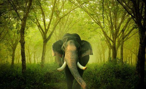 dramblys, Indijos, asija
