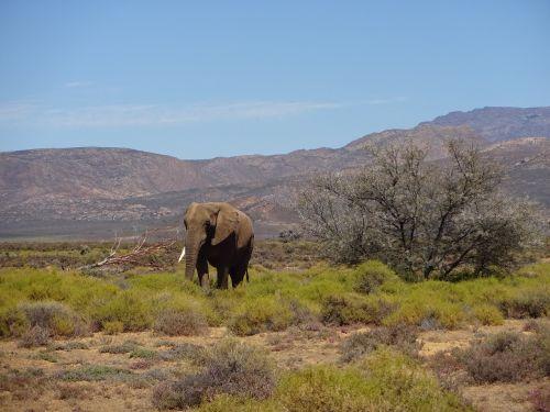elephant pachyderm fauna
