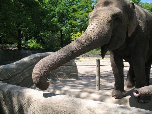 elephant zoo proboscis