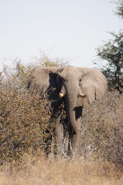 elephant bull botswana
