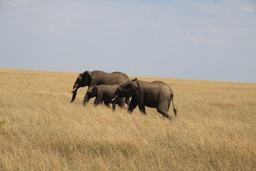 elephant family africa