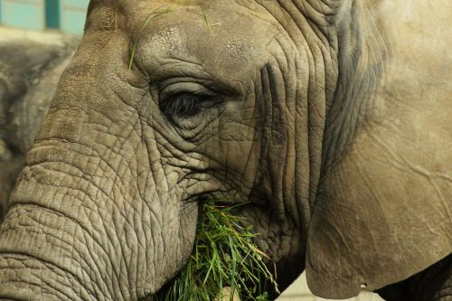 elephant eat grass