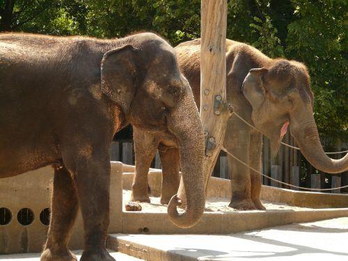 elephant proboscidea zoo