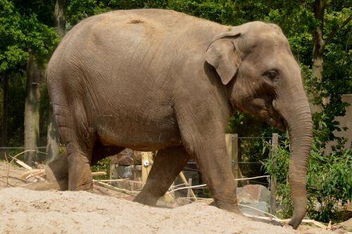 dramblys, gyvūnas, žinduolis, gamta, bagažinė