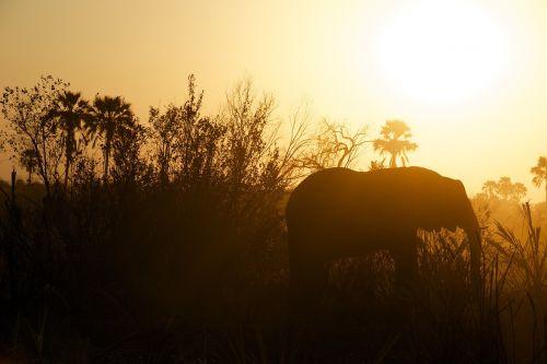 dramblys, stepė, veld, saulėlydis, gyvūnas, laukinė gamta, nykstantis, didelis, afrika, gamta, safari, laukiniai, Savanna, žinduolis, Nacionalinis parkas, milžiniškas, dykuma, rezervas, milžiniškas, didingas, ganyklos, išsaugojimas, oranžinė, juoda, siluetas