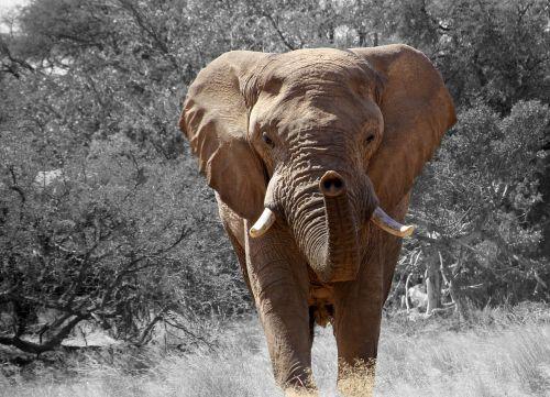 elephant namibia africa
