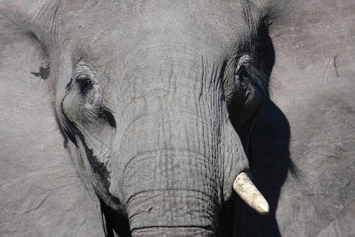 elephant africa african elephant