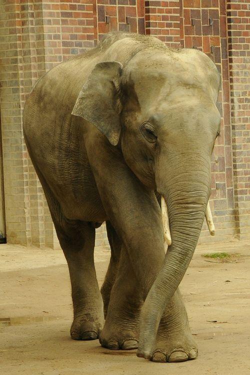elephant pachyderm zoo