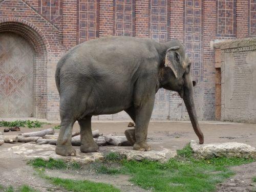elephant zoo animal portrait