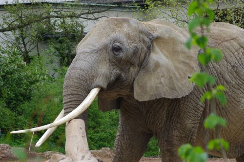 elephant africa zoo majestic