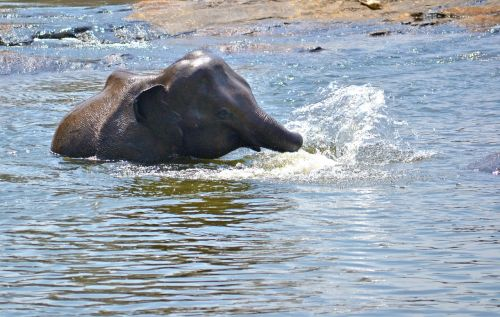 elephant baby playing in water river