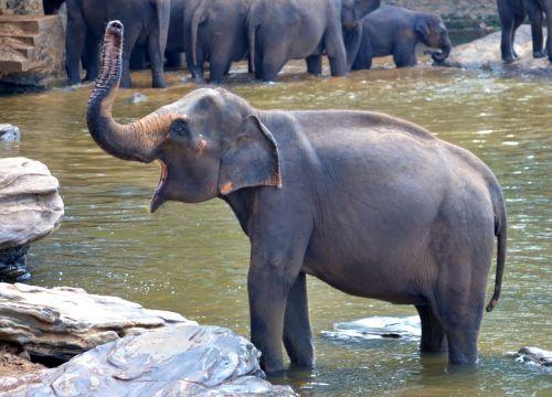 elephant bath elephant pregnant elephant