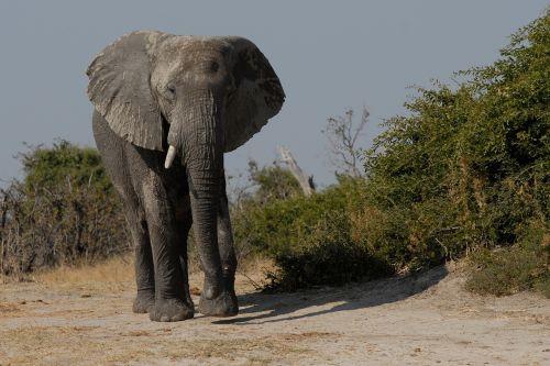 elephant boy elephant bull