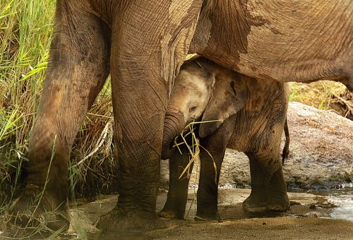 elephant calf sheltered protected