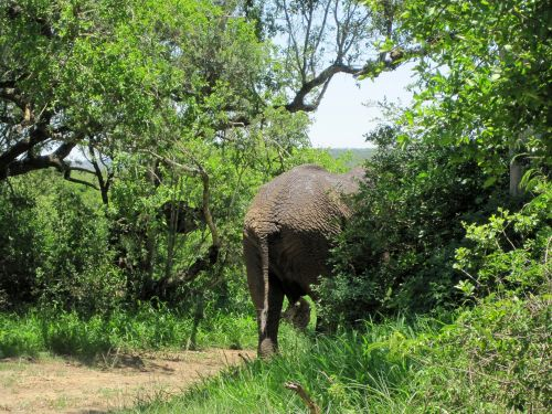 Elephant Disappearing Into Bush