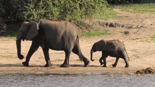 elephant family botswana chobe