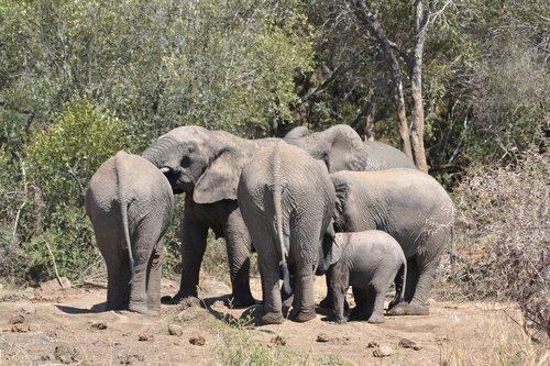 elephant family  elephant  tusks