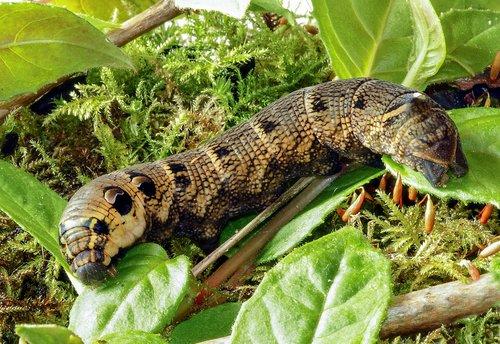 elephant-hawk-moth  larva  caterpillar