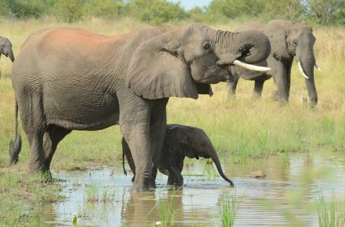 elephant mother and baby elephants baby