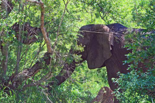 Elephant Obscured By Bush