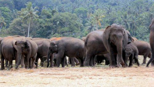 elephant orphanage elephants elephant herd