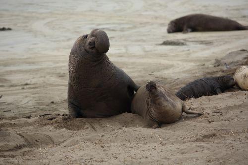 elephant seal pup california