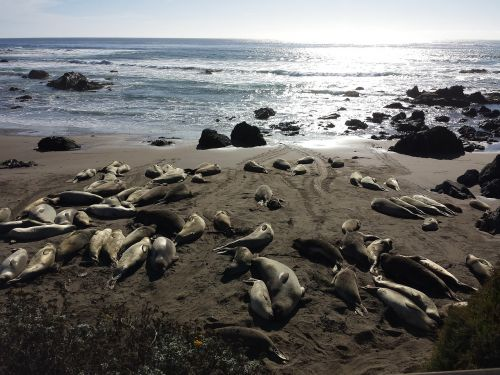 elephant seals seals wildlife