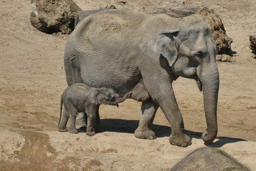 elephant with boy  young elephant  zoo
