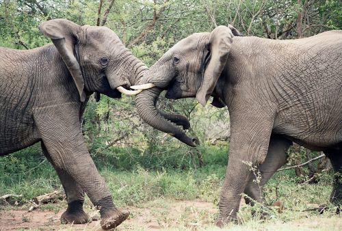 elephants elephants fighting african