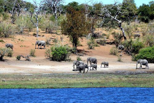 elephants botswana chobe