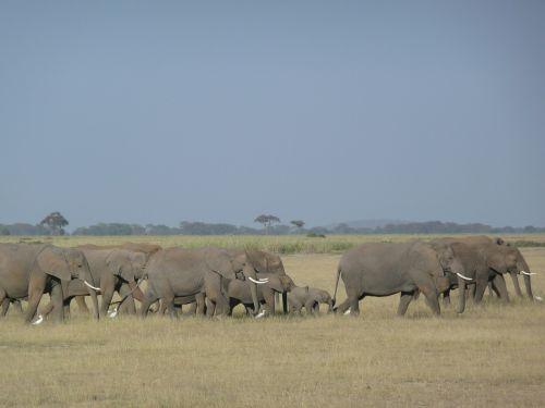 elephants family savannah