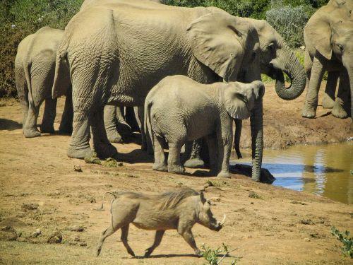 elephants wild boar wildlife