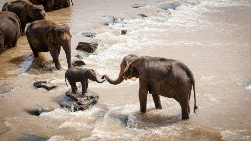 elephants family group river