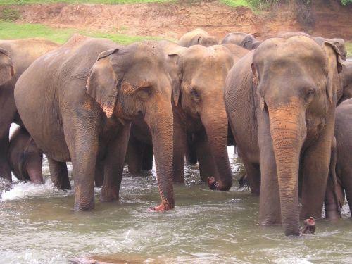 elephants sri lanka travel