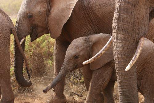 elephants africa nature
