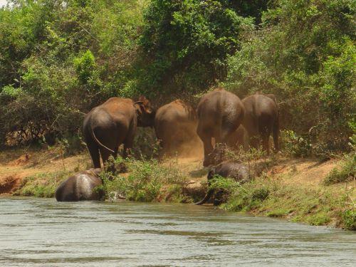 elephants bathing elephants herd