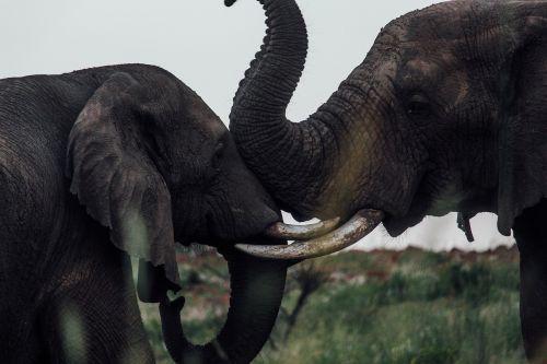 elephants mammal animal