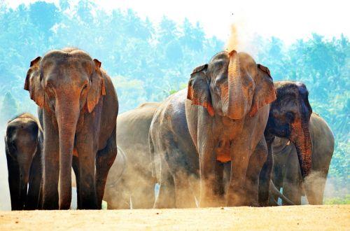 drambliai,saulės vonelė,žaisti smėliu,dulkėtas,dulkės,Šri Lanka,pinnawala,ceilonas,dramblys našlaitis