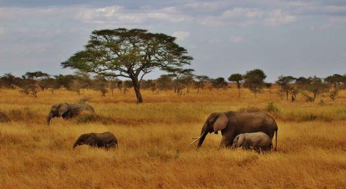 elephants baby elephant elephant herd